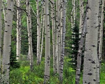 Canadian birch