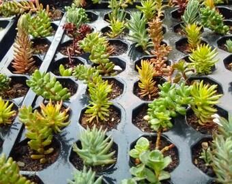 25 Mixed Rockery/Alpine plug plant collection,Fairy gardens,wedding favor,succulents.  ###REDUCED###