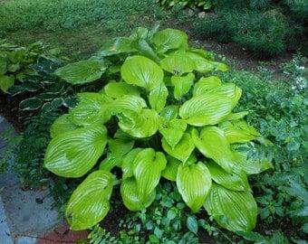 Sum and Substance Hosta, Perennial, Landscaping, Lavender Flowers, Glossy Corrugated Leaves, Slug Resistance, 1 quart potted Plant