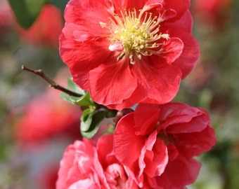 Flowering Quince Double Take Chaenomeles Pink Storm, PW, Large Pink Flowers, Thornless, 1 Quart Potted Plant, Double Flowers, Beautiful