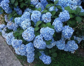 "Nikko Blue Hydrangea - 3 Pack, 6""- 12"" Tall, 3.5"" Potted Plant, Landscaping, Blue or Pink Blooms, Live Healthy Plants, Shrub"