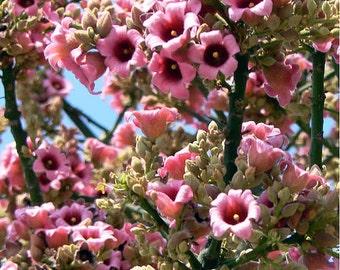 Brachychiton Discolor Tree, Australian Lacebark, Pink Kurrajong 10/100 Seeds