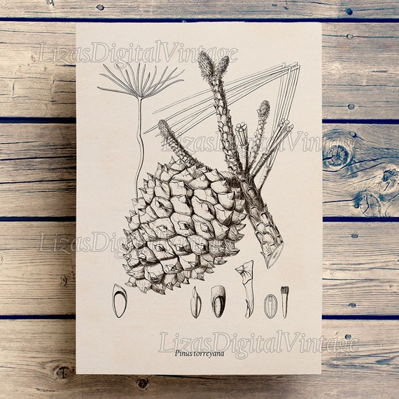 Pine cone decor, Tree wall art, Torrey pine, Pine cone print, Instant download illustration, Conifers vintage, Printable art print, PNG JPG