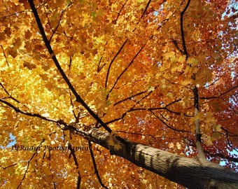 Glowing Fall Leaves Photograph-- Autumn Trees Changing Colors; Wall Decor Gift