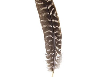 Turkey or Eagle Feather