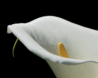 White Calla Lily Closeup (Photograph) - Fine Art Nature Flower Photography Print - San Francisco, California