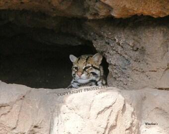 Ocelet Kitten #163 Arizona-Sonora Desert Museum & Zoo Tucson AZ