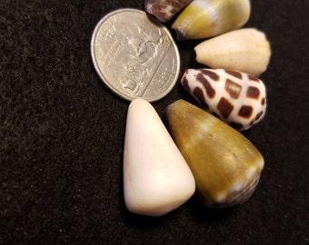 Hawaiian hebrew cone shell lot