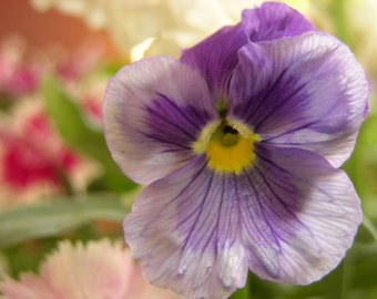Purple Pansy in Soft Pink Photograph #122
