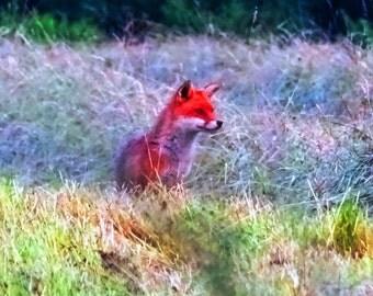 Fox Original photographic print, nature, British, countryside