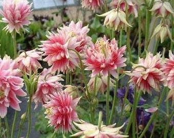 Nora Barlow Pink Columbine Flower Seeds/Aquilegia Vulgaris/Perennial   30+