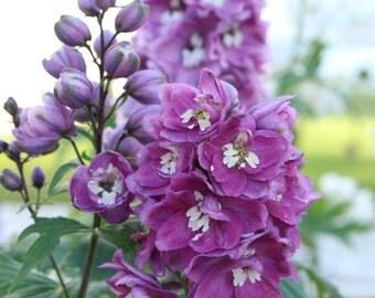 Flower purple Larkspur