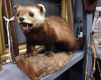 Vintage taxidermy mounted pinemartin