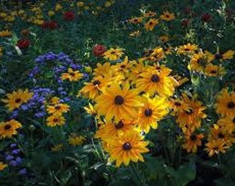 Black Eyed Susan Perennial ~Rudbeckia Goldstrum~3~THREE~ LIVE PLANTS/Root