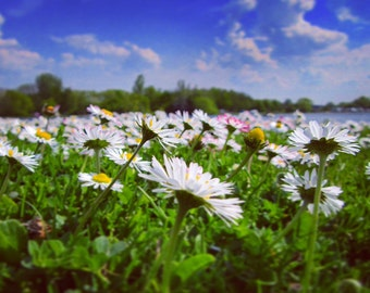 Daisies with sky