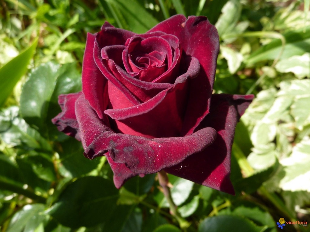 30 black baccara hybrid rare rose seeds exotic blood red. Black Bedroom Furniture Sets. Home Design Ideas