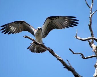 Spread your Wings Osprey style