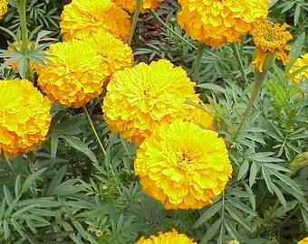 750 African Marigold Seeds (Tagetes erecta)