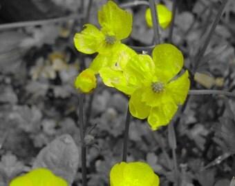 Flower photo, Buttercups photo- yellow buttercup flowers
