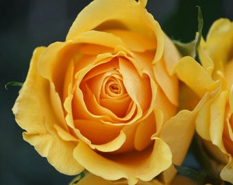 Yellow Rose Photograph, Flower Photography