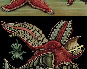 Old poster school zoology 1990 Jung-Koch-Quentell sea Anatomy star; 21 x 29cm apprx / 8.26 x 11,41 inches + or -.