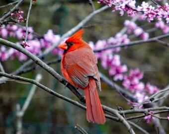 Cardinal in Redbud Tree