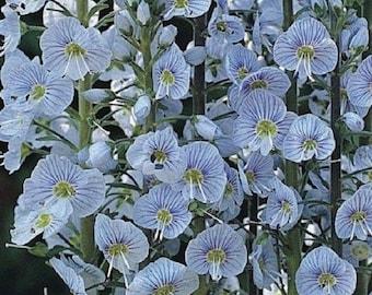 30+ Blue Streak Veronica / Perennial Flower Seeds