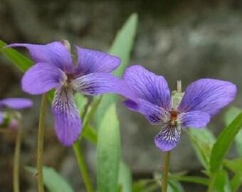 35+ Viola Mandashurica / Japanese Viola / Perennial Flower Seeds