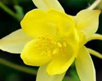 25+ Sunshine Yellow Columbine Aquilegia / Perennial Flower Seeds