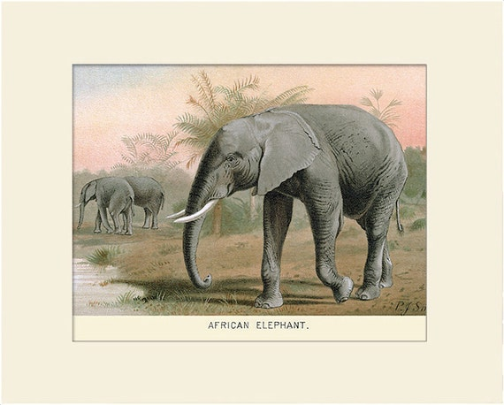 African Elephant Print, Art Print with Mat, Antique Natural History Illustration, Wall Art, Vintage Wall Decor, Animal Print