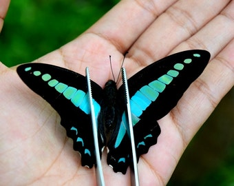 Real butterfly - Graphium sarpedon, beautiful butterfly, blue butterfly, You Can Choose Spread or Unspread this real butterfly
