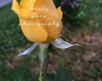 Yellow Tulip Rose