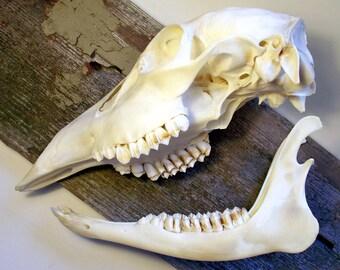 SALE Real Deer Skull with Jaw Bone
