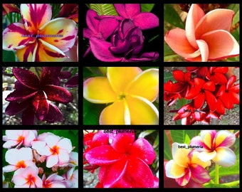 NEW! Plumeria Seeds/Flowers/Mixed 300 Seeds .