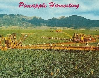 Vintage 1950s Postcard Hawaii Pineapple Harvesting Industrial Fruit Agriculture Aloha Photochrome Era Postally Unused