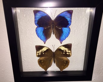 NOW SALE PRICED Elegant Saturn Leaf Wing Butterfly Pair