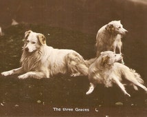 Dogs real photo vintage postcards - The three graces dogs Real photo Vintage Dog Postcard, RPPC