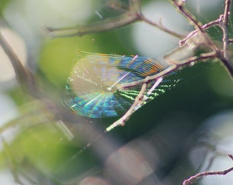"""Nature Photography, Spiderweb, Rainbow, Greenery, In the Garden, 4x6, 6x9 or 8x12. """"Bewebbed - Rainbow No.1""""."""