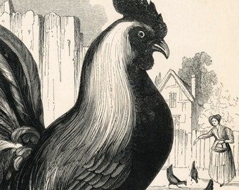 Antique Print of the Cock - Rooster - Chicken - 1840s-1850s Vintage Print