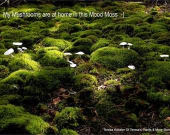Bulk Terrarium Moss- 5 cubic foot boxes of Mood Moss-Frog Moss-Live Dicranum Moss for Terrariums and Vivariums-Fairy Garden Forest