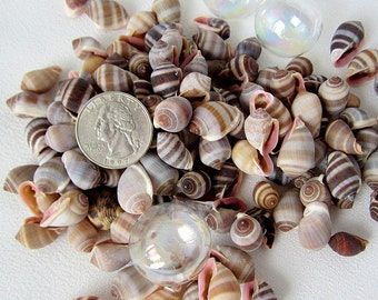 "Beach Nautical Nucleus Shells - Nucleus Seashells - Tiny Cone Shells - 3x4"" Bag"