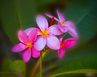 Purple tropical Plumeria flowers. Fine Art Photography.