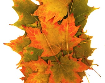 50 Real Variegated Red Edged Yellow Green Maple Leaves Well Defined Leaf Shape, Fall Decor, Dried Autumn Leaves, Dried Maple Leaves