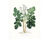 Italian Botanical Giclee Print - Parsnip No. 1