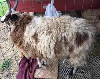 Fine virgin fleece from Ank-Lambs Flower