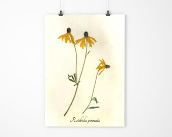 Grey Coneflower Botanical Art - Pressed Botanical - Herbarium
