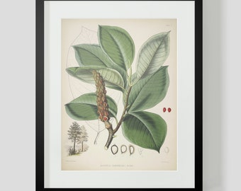 Botanical Illustration Himalayan Plate V (5)