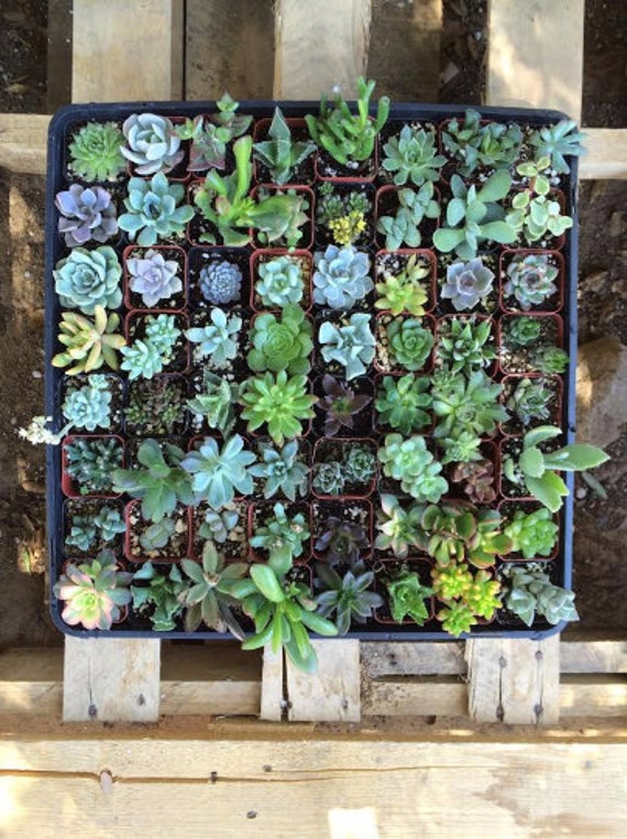 """145 Assorted potted Succulent Collection 2"""" plastic pots succulents great for wedding gifts & FAVORS+"""