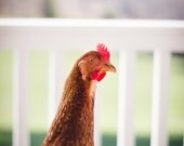 Hen photography, chicken portrait, poultry photography, farm photography, red hen, red chicken, chicken coop photography