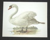 Bird Print, Mute Swan, Cygnus Olor, 1962 Book Plate, Demartini